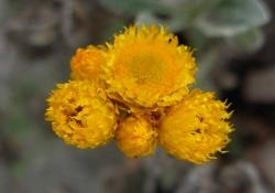 ChrysocephalaApiculata.JPG