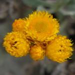 ChrysocephalaApiculata