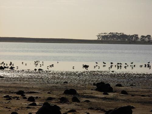 Birds feeding on Lake Bolac