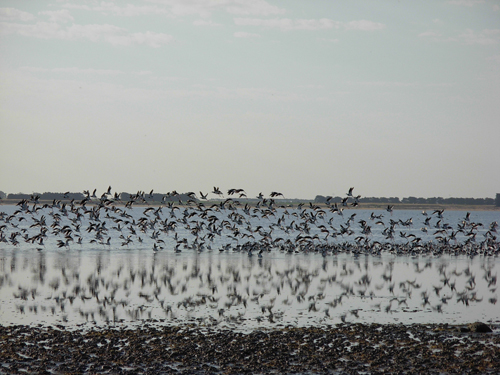 Birds feeding on Lake Bolac